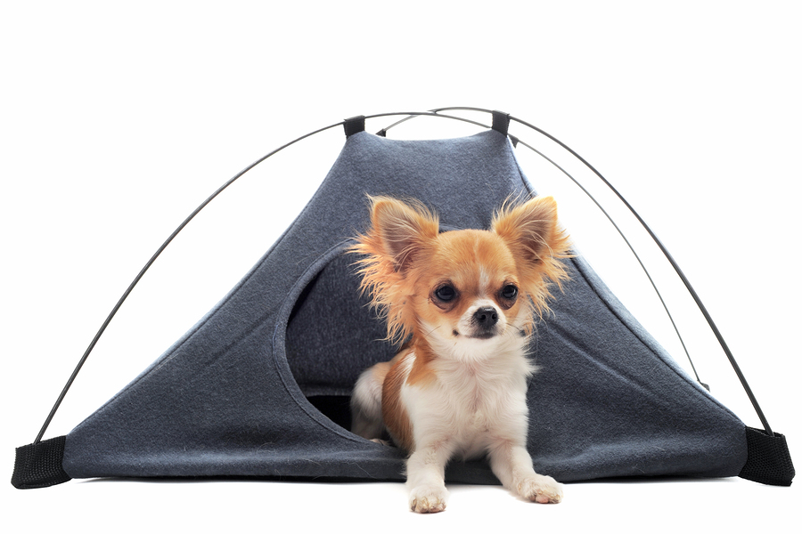 puppy chihuahua in camp tent