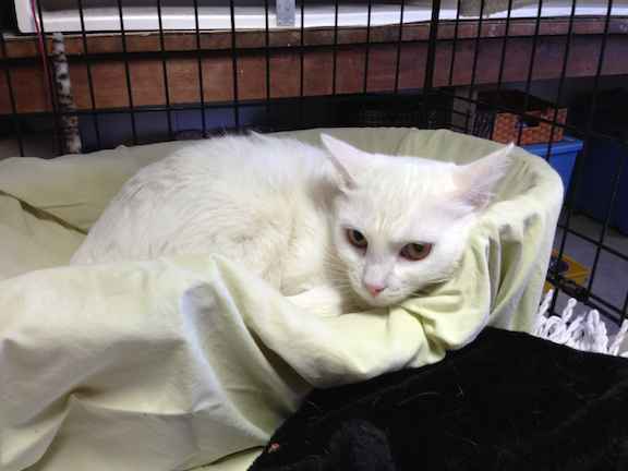 Waiting for a forever, happy home: Blanca! Contact Lifeline for Pets at info(at)lifelineforpets.org or 626-797-1753.