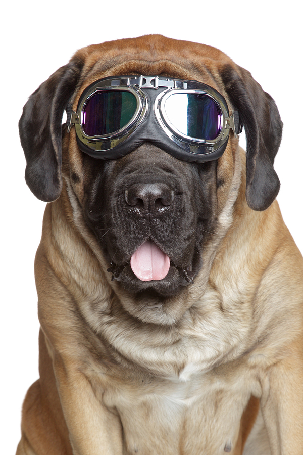 bigstock-English-Mastiff-In-Vintage-Mot-30144278