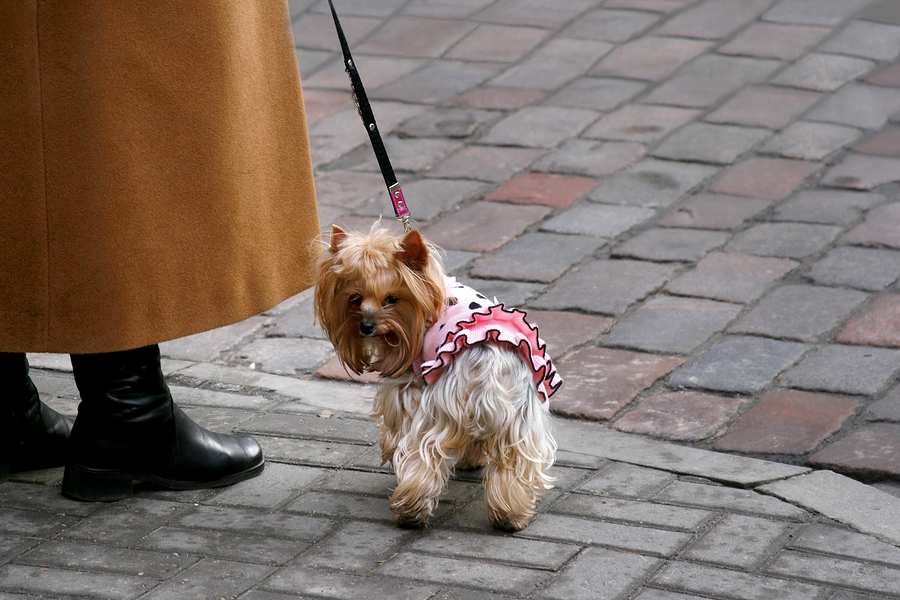 Yorkshire Terrier On A Cobblestone