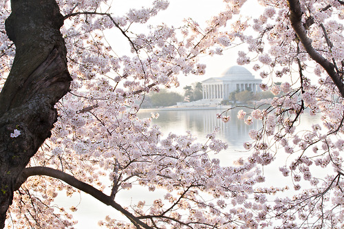 Cherry blossoms in full bolo, provide a gorgeous frame to this photo of the  Jefferson Memorial at the Tidal Basin in Washington, D.C. (photo: Joe Milmoe, USFWS)