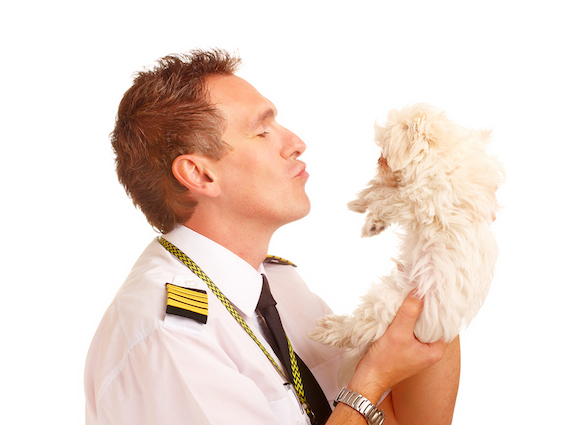 Airline pilot wearing uniform with epaulettes with little puppy, dog breed is Maltese. Good photo to
